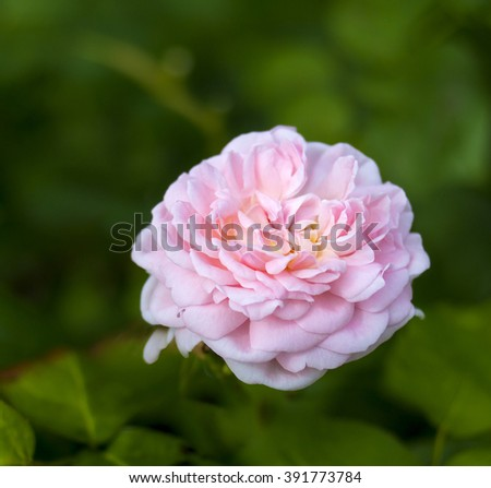 EGLANTYNE English Rose - bred by David Austin Shrub Rose Perfectly formed, soft pink blooms with a charming, sweet Old Rose fragrance. An exceptionally healthy and reliable garden rose. - stock photo