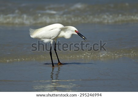 Egret eating a crab. - stock photo