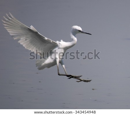 egret (egretta garzetta) - stock photo