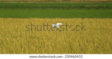 Egret flying low over the rice fields