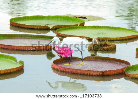 Egret is hunting on the Victoria waterlily leaf and its flower - stock photo