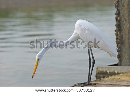 egret is looking for the food - stock photo