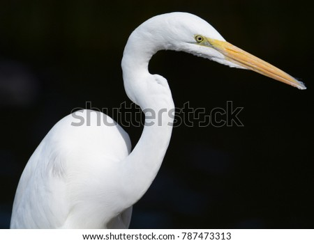 Egret looking for its prey.