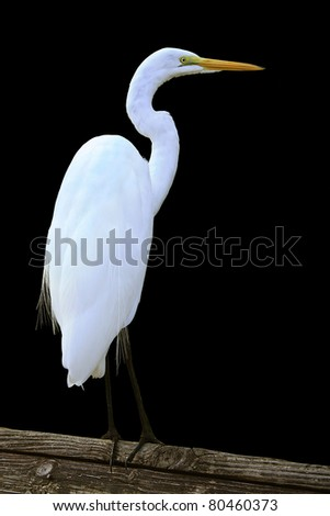 Egret on a branch isolated on black