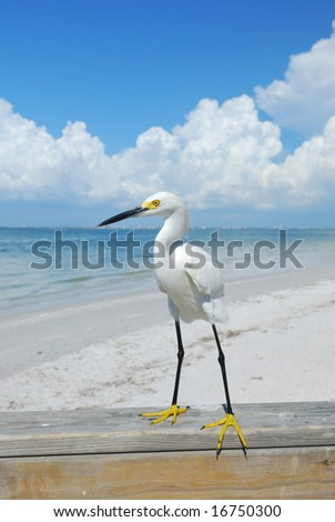 Egret on Sanibel Island Florida - stock photo