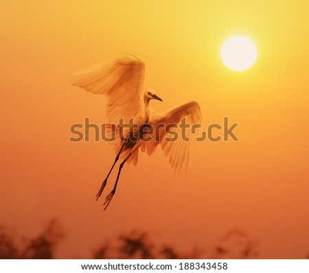 egret play in sunset - stock photo