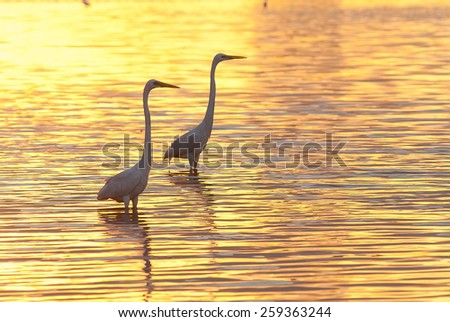 egret play in water land, blur - stock photo