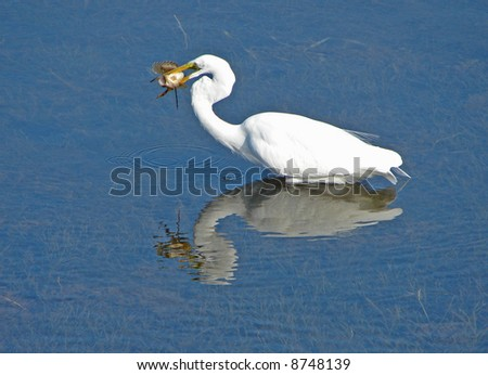 Egret with Fish - stock photo