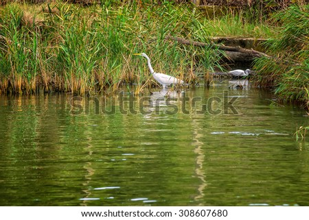 Egrets in Ropotamo nature park, Bulgaria - stock photo