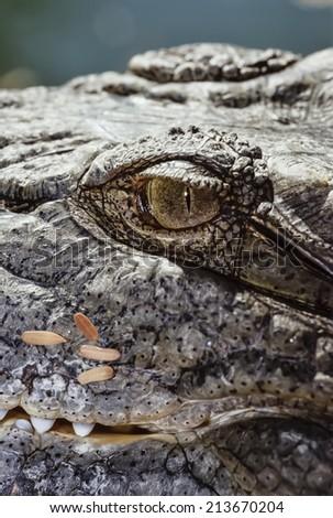 Egypt, Luxor, Nile crocodile (Crocodylus niloticus)- FILM SCAN - stock photo