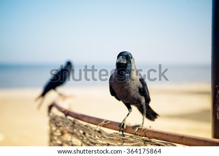 Egyptian Crows at the Hotel Beach on a sunny day - stock photo