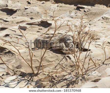 Egyptian desert viper snake cerastes cerastes buried in the sand - stock photo