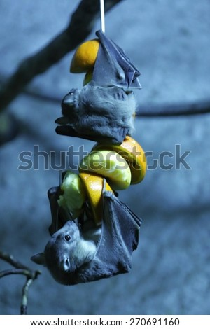 egyptian fruit bat hanging down and eating fruit - stock photo
