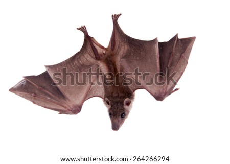 Egyptian fruit bat or rousette, Rousettus aegyptiacus. on white background - stock photo