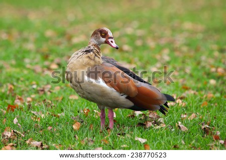 Egyptian Goose on the green grass