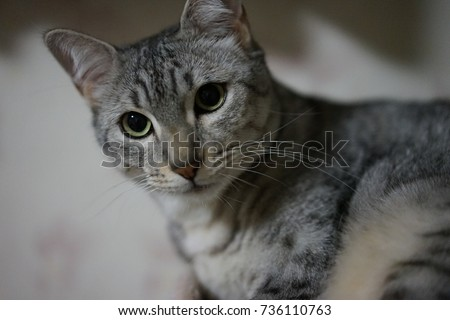 https://thumb1.shutterstock.com/display_pic_with_logo/167494286/736110763/stock-photo-egyptian-mau-736110763.jpg
