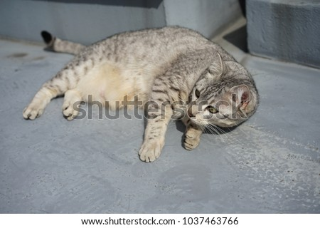 https://thumb1.shutterstock.com/display_pic_with_logo/167494286/1037463766/stock-photo-egyptian-mau-in-a-rooftop-1037463766.jpg