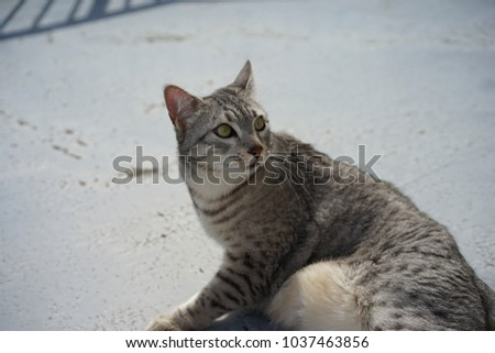 https://thumb1.shutterstock.com/display_pic_with_logo/167494286/1037463856/stock-photo-egyptian-mau-in-a-rooftop-1037463856.jpg