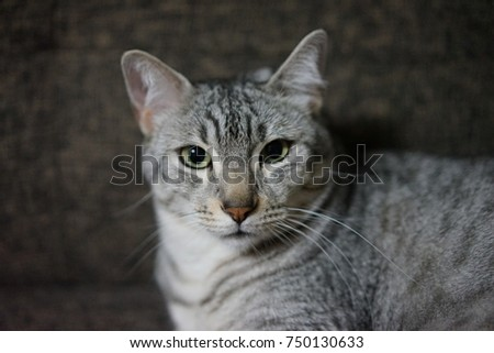 https://thumb1.shutterstock.com/display_pic_with_logo/167494286/750130633/stock-photo-egyptian-mau-in-a-room-750130633.jpg