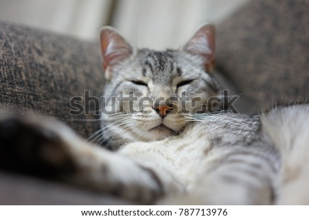 https://thumb1.shutterstock.com/display_pic_with_logo/167494286/787713976/stock-photo-egyptian-mau-in-japan-787713976.jpg