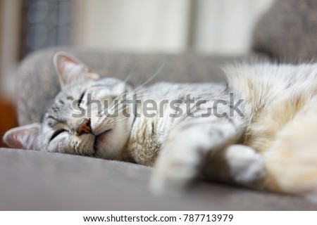 https://thumb1.shutterstock.com/display_pic_with_logo/167494286/787713979/stock-photo-egyptian-mau-in-japan-787713979.jpg