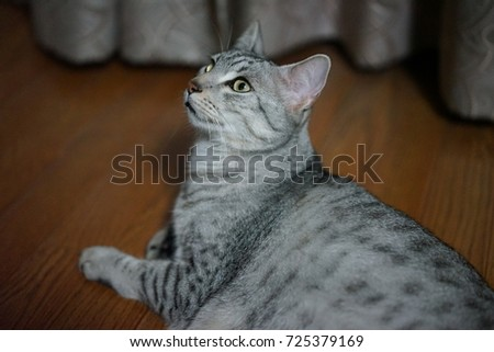 https://thumb1.shutterstock.com/display_pic_with_logo/167494286/725379169/stock-photo-egyptian-mau-in-the-room-725379169.jpg