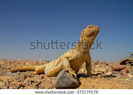 Egyptian Spiny Tailed Lizard