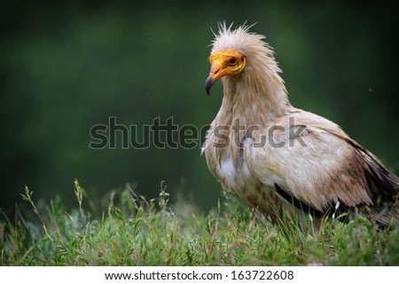 Egyptian Vulture (Neophron percnopterus), also called the White Scavenger Vulture or Pharaoh's Chicken. Taken at Cremenes, Leon, Spain. - stock photo