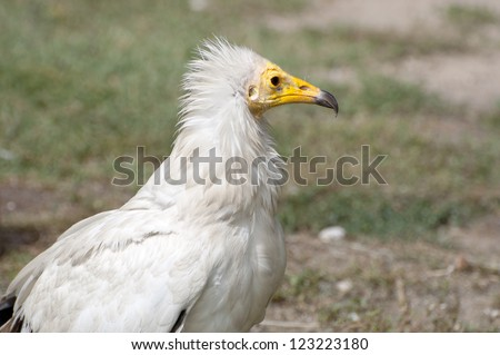Egyptian Vulture, Neophron percnopterus. It is a small Old World vulture and the only member of the genus Neophron
