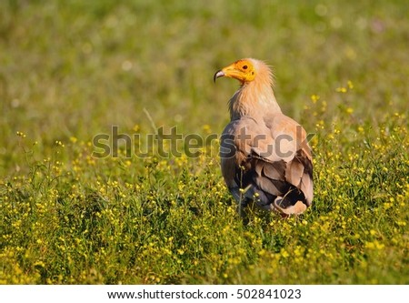 Egyptian vulture on a flowery field.