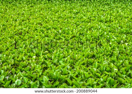 Eichhornia crassipes is commonly known as water hyacinth and It is an aquatic plant
