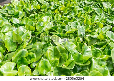 Eichhornia crassipes is commonly known as water hyacinth and It is an aquatic plant - stock photo