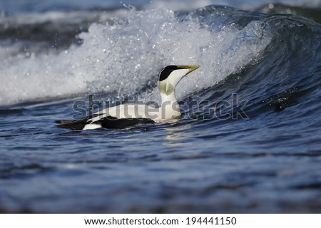Eider duck, Somateria mollissima, single male on water, Northumberland, May 2014
