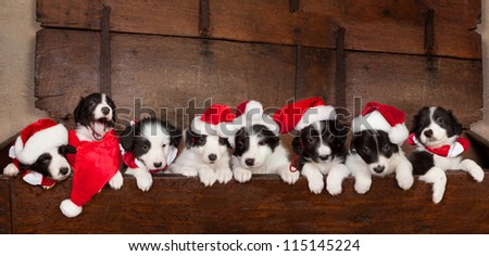 Eight little 5 weeks old border collie puppies with christmas santa hats - stock photo
