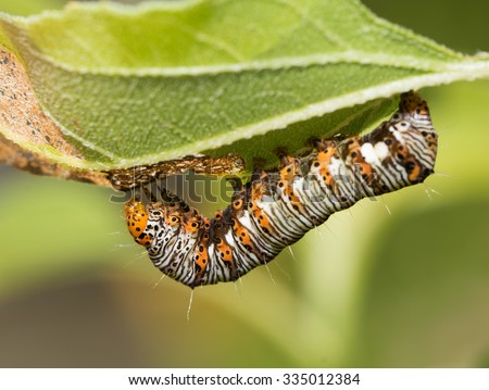 Eight-spotted Forester caterpillar - stock photo