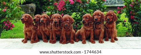 Eight two months old pure breed red irish setter puppies posing in a row