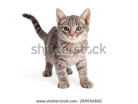 Eight week old playful Tabby Kitten standing and looking directly into the camera.  - stock photo