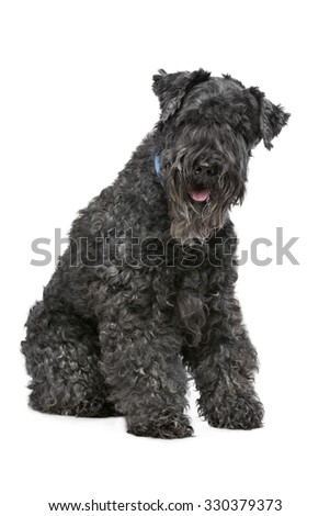 Eight year old Kerry Blue Terrier sitting in front of a white background