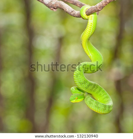 Ekiiwhagahmg snakes (snakes green) in the forests of Thailand - stock photo