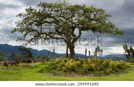 El Lechero, the sacred tree of Otavalo. This tree is part of local mythology, believed to house the soul of a cursed lover, who fell in love with a chap from a rival family. Ecuador - stock photo