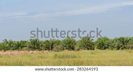 Elaeis guineensis tree or oil palm tree plantation in Thailand