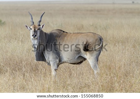 Eland antelope standing in grassland savannah - stock photo