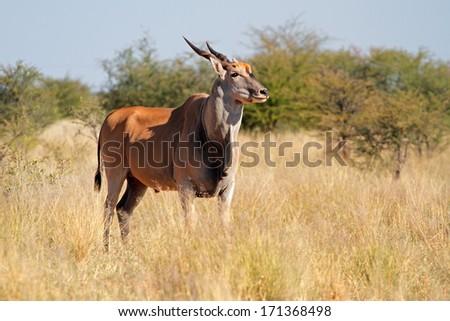 Eland antelope (Tragelaphus oryx) in natural habitat, South Africa  - stock photo