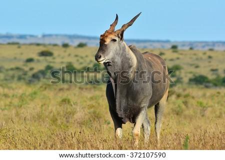Eland Bull Antelope - stock photo