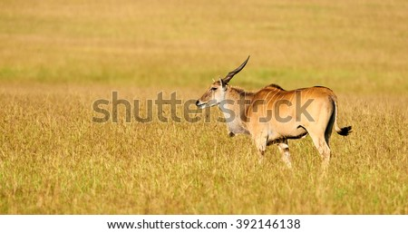 Eland (Taurotragus oryx) the largest of the african antilopes, grazing in the savanna - stock photo