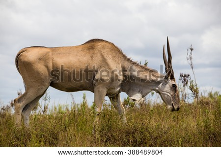 eland the African mammal south africa area - stock photo