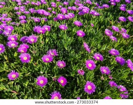 Elands Sourfig (Carpobrotus acinaciformis) is a succulent perennial of the family Aizoaceae, native to South Africa. - stock photo
