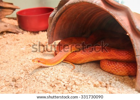 Elaphe guttata snake, (Amelanistic Dayglow) - stock photo