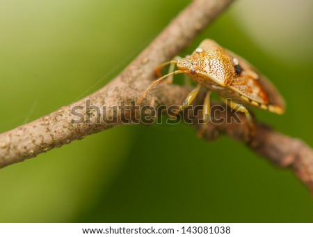 Elasmucha grisea - stock photo