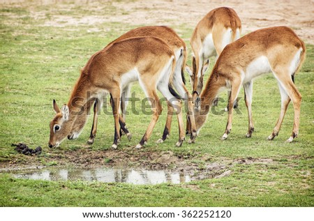 Eld's deer (Panolia eldii), also known as the thamin or brow-antlered deer, is an endangered species of deer indigenous to Southeast Asia. Group of animals. - stock photo